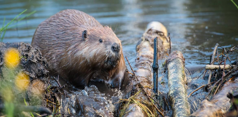 ageas-beaver-1